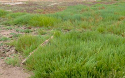 Proyecto piloto UPLA buscará descontaminar suelos de Puchuncaví con planta halófita
